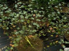 Betula nana -Polarzwergbirke-