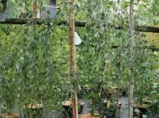 Betula pendula 'Youngii' -Trauerbirke-