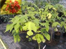 Broussonetia papyrifera -Papier - Maulbeerbaum-