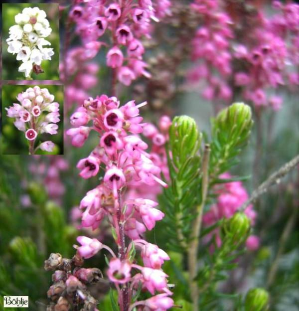 Bruckenthalia spiculifolia / Erica spiculifolia  -Ährenheide / Siebenbürgenheide-