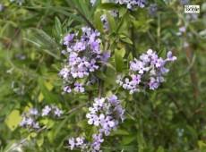 Buddleja alternifolia -Hänge - Sommerflieder-