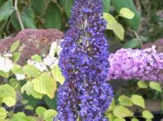 Buddleja davidii 'Adonis Blue' / 'Adokeep' -Schmetterlingsstrauch-