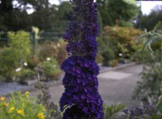 Buddleja davidii 'Black Knight' -Schmetterlingsstrauch-
