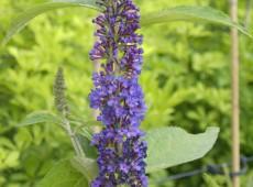 Buddleja davidii 'Empire Blue' -Schmetterlingsstrauch-