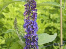 Buddleja davidii 'Empire Blue' -Schmetterlingsstrauch-