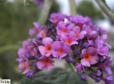 Buddleja davidii 'Flower Power' ® -Schmetterlingsstrauch-
