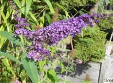 Buddleja davidii 'Ile de France' -Schmetterlingsstrauch-