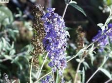 Buddleja davidii 'Nanho Blue' -Schmetterlingsstrauch-