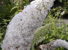 Buddleja davidii 'Peace' -Schmetterlingsstrauch-