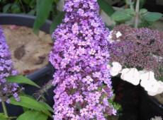 Buddleja davidii 'Peakeep' -Schmetterlingsstrauch-