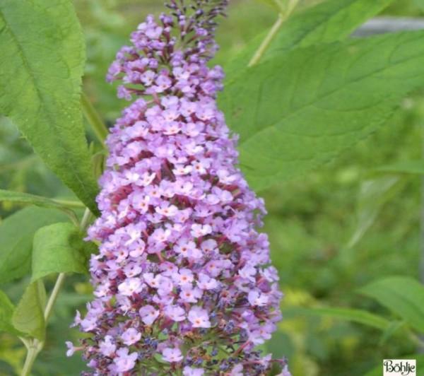 Buddleja davidii 'Pink Delight' -Schmetterlingsstrauch-