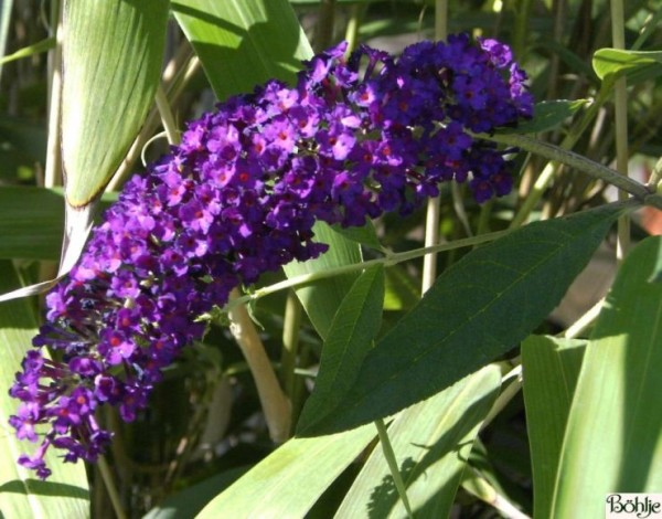 Buddleja davidii 'Royal Red' -Schmetterlingsstrauch-