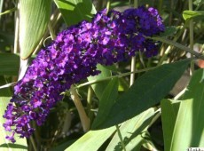 Buddleja davidii 'Royal Red' -Schmetterlingsstrauch-