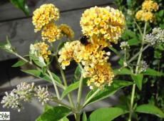 Buddleja weyeriana 'Sungold' -Schmetterlingsstrauch-