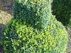 Buxus sempervirens var. arborescens -Buchsbaum-