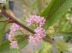 Callicarpa dichotoma 'Issai' -Schönfrucht / Liebesperlenstrauch-