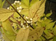 Callicarpa japonica 'Leucocarpa' -Schönfrucht / Liebesperlenstrauch-