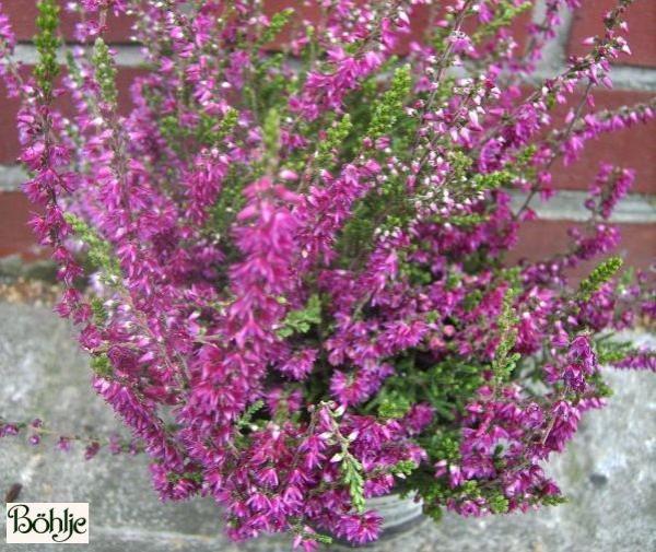 Calluna vulgaris 'Allegro'