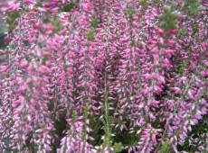 Calluna vulgaris 'Amethyst'