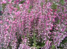Calluna vulgaris 'Amethyst' -S-