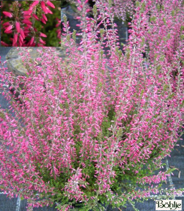 Calluna vulgaris 'Angie' -S-