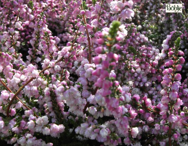 Calluna vulgaris 'Annabel'