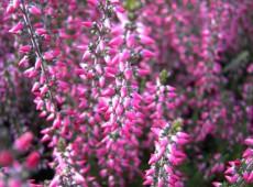 Calluna vulgaris 'Aphrodite' -S-