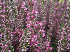 Calluna vulgaris 'Athene' -S-