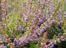 Calluna vulgaris 'Bonita' -S-