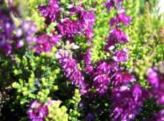 Calluna vulgaris 'Con Brio'