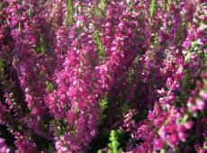 Calluna vulgaris 'Dark Beauty' -S-