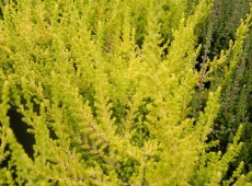 Calluna vulgaris 'David Hagenaars'