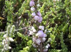 Calluna vulgaris 'Elsie Purnell'