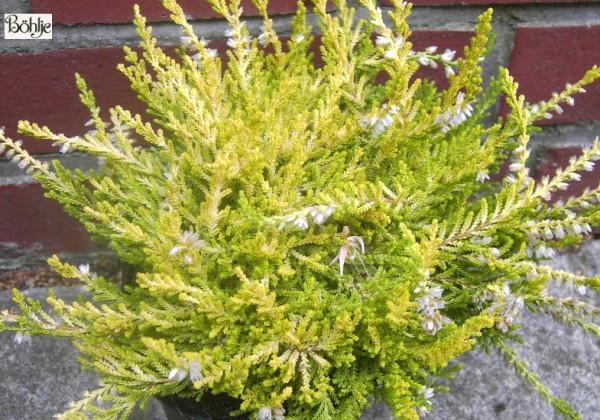 Calluna vulgaris 'Gold Haze'