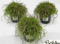 Calluna vulgaris 'Heidezwerg'