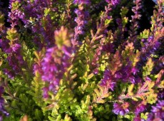 Calluna vulgaris 'Highland Rose'