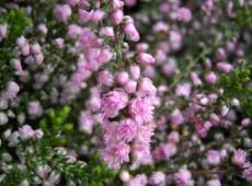Calluna vulgaris 'J. H. Hamilton'