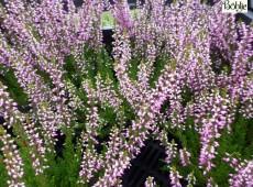 Calluna vulgaris 'Lilli' -S-