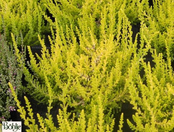 Calluna vulgaris 'Lukas'