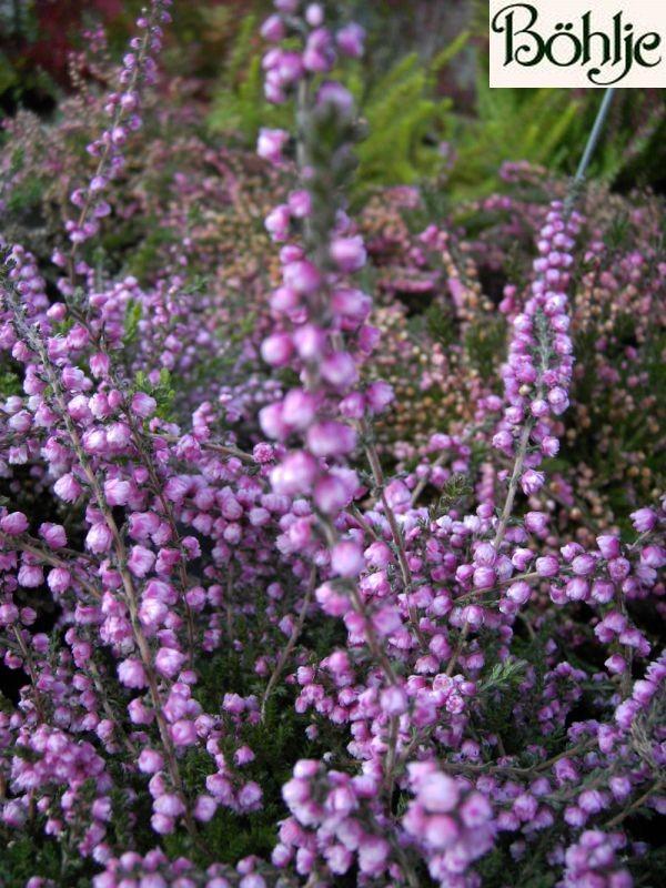 Calluna vulgaris 'Peter Sparkes'