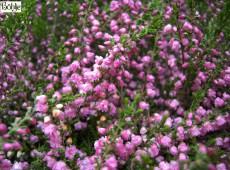 Calluna vulgaris 'Red Favorite' -S-