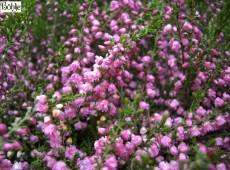 Calluna vulgaris 'Red Favorite' -S-