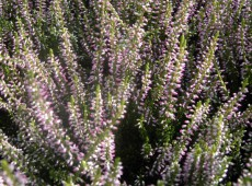 Calluna vulgaris 'Rosann' -S-