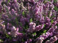 Calluna vulgaris 'Rote Mullion'