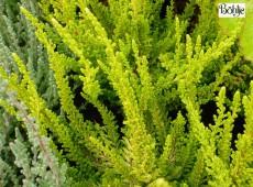 Calluna vulgaris 'Zeta' -S-