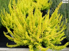 Calluna vulgaris 'Zoe' -S-