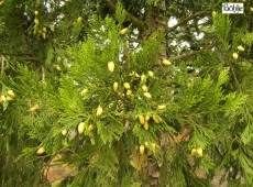 Calocedrus decurrens 'Green Pillar' -Flußzeder-