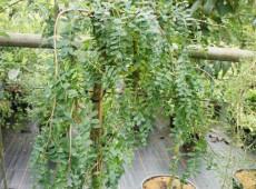 Caragana arborescens 'Pendula' -Erbsenstrauch-