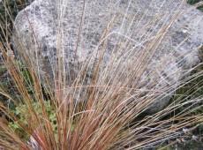 Carex buchananii -fuchsrote Segge-