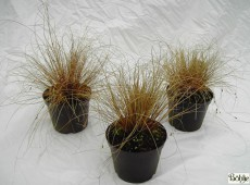 Carex comans 'Little Red' -bräunliche Garten Segge-